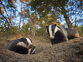 A clan of Badgers emerge from their sett in the Peak District National Park, UK.