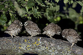 Little Owl (Athene noctua), young people waiting for their meals, Summer, Alsace, France