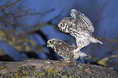 Little Owl (Athene noctua) mating in the spring, Alsace, France