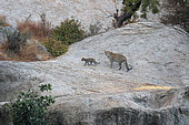 Indian Leopard (Panthera pardus fusca) female and young in the rocks at dusk Bera, Rajasthan, India