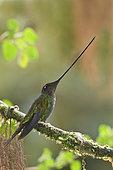 Colibri porte-épée (Ensifera ensifera), Equateur