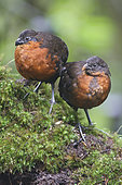 Dark-backed Wood Quail (Odontophorus melanonotus), Ecuador