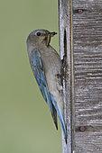 Mountain Bluebird (Sialia currucoides), Alberta, Canada