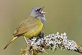 MacGillivray's Warbler (Geothlypis tolmiei) singing, British Columbia, Canada
