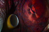 Detail of Octopus (Octopus sp) eye and its siphon that allows it to breathe. Mayotte