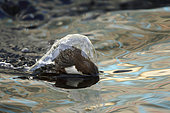 White-throated Dipper (Cinclus cinclus), North Rhine-Westphalia, Germany