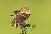 Common Grasshopper Warbler (Locustella naevia), Vorarlberg, Austria