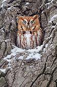 Eastern Screech Owl (Megascops asio), Ohio, USA