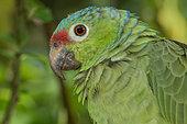 Red-lored Amazon (Amazona autumnalis), Costa Rica