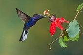 Violet Sabrewing (Campylopterus hemileucurus), Costa Rica