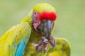 Great Green Macaw (Ara ambiguus), Costa Rica