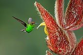 Coppery-headed Emerald (Elvira cupreiceps), Costa Rica