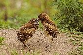 Florida burrowing owls (Athene cunicularia floridana) eating, Boca Raton, Florida, USA