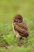 Florida burrowing owls (Athene cunicularia floridana) looking, Boca Raton, Florida, USA