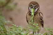 Florida burrowing owls (Athene cunicularia floridana) eating common iguana, Boca Raton, Florida, USA