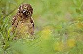 Florida burrowing owls (Athene cunicularia floridana) look, Boca Raton, Florida, USA