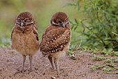 Florida burrowing owls (Athene cunicularia floridana) Chicks sleeping, Boca Raton, Florida, USA