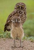 Florida burrowing owls (Athene cunicularia floridana) and chick, Boca Raton, Florida, USA
