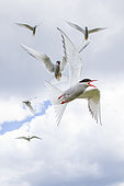 Arctic Terns (Sterna paradisaea) in protection of their nests on the Farnes Islands, England
