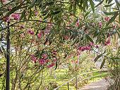 Nerium oleander 'Soeur Agnès'