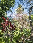 Cordyline fruticosa 'Prince Albert', Erythrina rubrinervia, Encephalartos laurentianus, Jardin de Aclimatacion de la Orotava, Puerto de la Cruz, Tenerife, Iles Canaries, Espagne