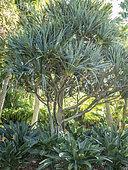 Pandanus utilis Bory, Strelitzia reginae
