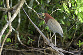 Rufescent Tiger-Heron (Tigrisoma lineatum) adult on a branch, Pantanal, Brazil