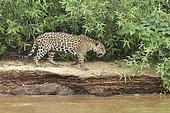 Jaguar (Panthera onca) walking on the riverbank, Pantanal, Brazil