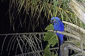 Hyacinth Macaw (Anodorhynchus hyacinthinus) on his dormitory near a lodge, Pantanal, Brazil