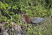 Rufescent Tiger-Heron (Tigrisoma lineatum) adult on ground, Pantanal, Brazil