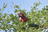 Red-and-green macaw (Ara chloropterus) on a branch, Pantanal, Brazil