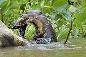 Loutre géante (Pteronura brasiliensis) tuant une anguille, Pantanal, Brésil