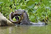 Loutre géante (Pteronura brasiliensis) mangeant une anguille, Pantanal, Brésil