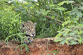 Jaguar (Panthera onca) resting on the bank, Pantanal, Brazil