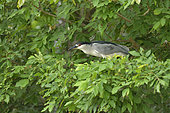Night Heron (Nycticorax nycticorax) on a branch, Pantanal, Brazil