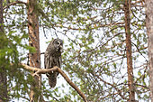 Great Grey Owl (Strix nebulosa) having caught a rodent and ready to bring it to the nesting female in a forest, Finland