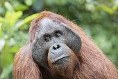 Bornean orangutan (Pongo pygmaeus pygmaeus), adult male in a tree, Tanjung Puting National Park, Borneo, Indonesia