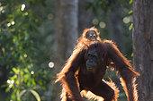 Bornean orangutan (Pongo pygmaeus pygmaeus), Adult female with a baby, Tanjung Puting National Park, Borneo, Indonesia