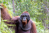 Bornean orangutan (Pongo pygmaeus pygmaeus), adult male, walking on the ground, Tanjung Puting National Park, Borneo, Indonesia