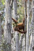 Bornean orangutan (Pongo pygmaeus pygmaeus), Baby in the tree, Tanjung Puting National Park, Borneo, Indonesia