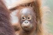 Bornean orangutan (Pongo pygmaeus pygmaeus), Baby, Tanjung Puting National Park, Borneo, Indonesia