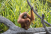Bornean orangutan (Pongo pygmaeus pygmaeus), Adult female with a baby near by the water of Sekonyer river, Tanjung Puting National Park, Borneo, Indonesia