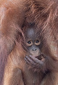 Bornean orangutan (Pongo pygmaeus pygmaeus), Adult female with a baby, detail, Tanjung Puting National Park, Borneo, Indonesia