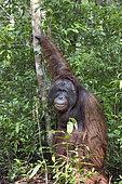 Bornean orangutan (Pongo pygmaeus pygmaeus), adult male, Tanjung Puting National Park, Borneo, Indonesia