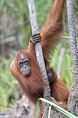 Bornean orangutan (Pongo pygmaeus pygmaeus), Adult female with a baby, Tanjung Puting National Park, Borneo, Indonesia