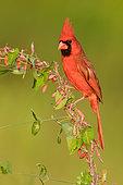 Northern Cardinal (Cardinalis cardinalis) male, Texas, USA
