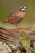 Northern Bobwhite (Colinus virginianus) male, Texas, USA