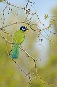 Green Jay (Cyanocorax luxuosus), Texas, USA