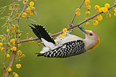 Golden-fronted Woodpecker (Melanerpes aurifrons), Texas, USA