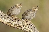 Gambel's Quail (Callipepla gambelii) juvenile, Arizona, USA